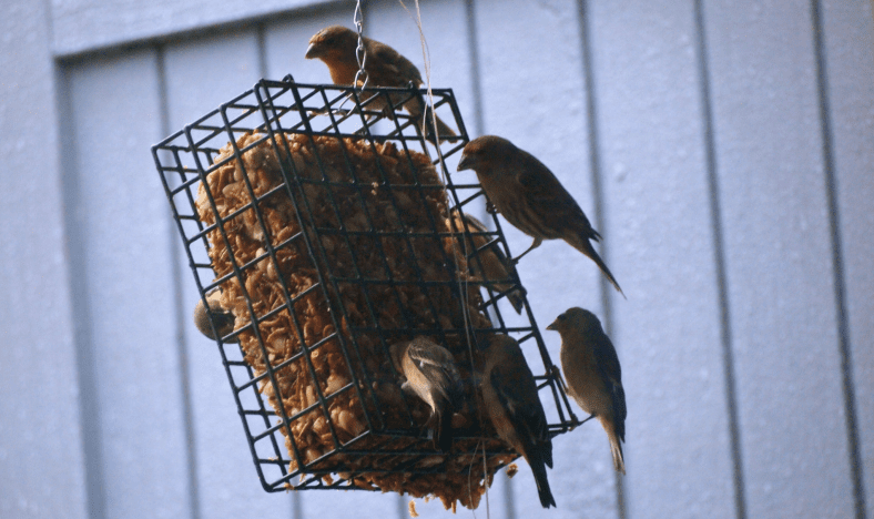 MAKING SUET – A RECIPE FOR YOUR FEATHERED FRIENDS! - a recipe from pixiespocket.com