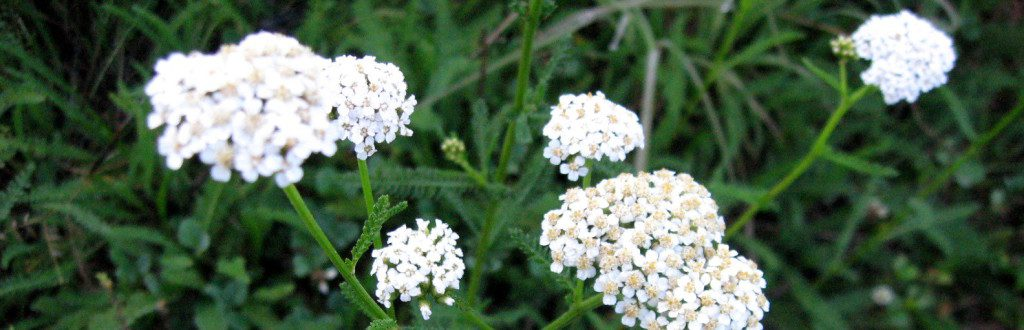yarrow for fever and flu - by amber shehan of pixiespocket , first published at herbal academy of new england