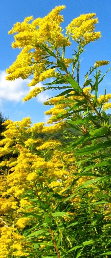 Goldenrod Recipes and Remedies - from pixiespocket.com