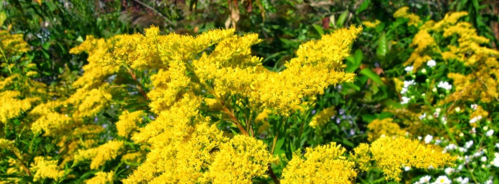 """Goldenrod plants in full bloom - from """"Goldenrod and Ginger Wine"""" on pixiespocket.com"""