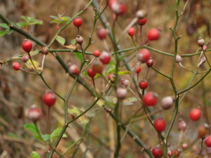 UPDATE: Wild Rosehips!!  (And then I found more color...can anyone help me identify this berry bramble?)