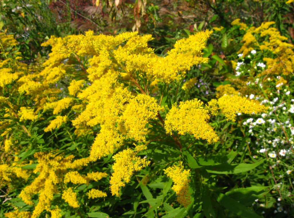 Harvesting Goldenrod: a poem by Amber Shehan
