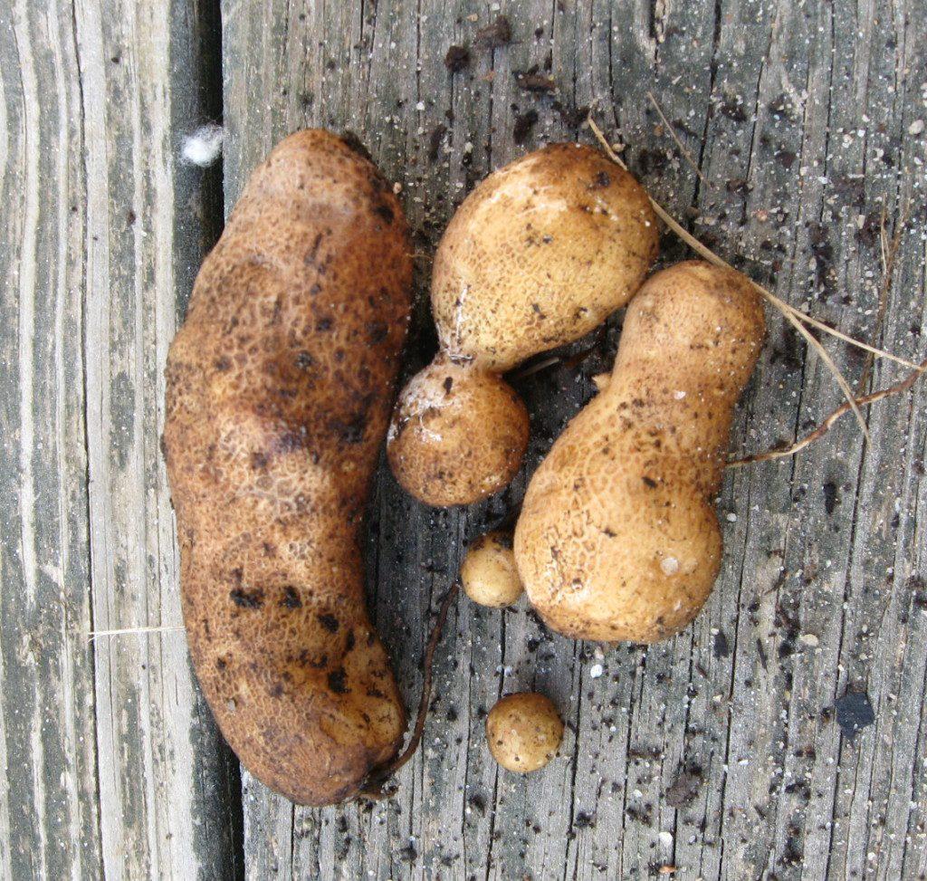the giant potato harvest of 2014 on pixiespocket.com