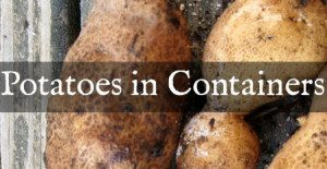 Growing Potatoes in Containers: The Harvest