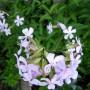 flowering soapwort