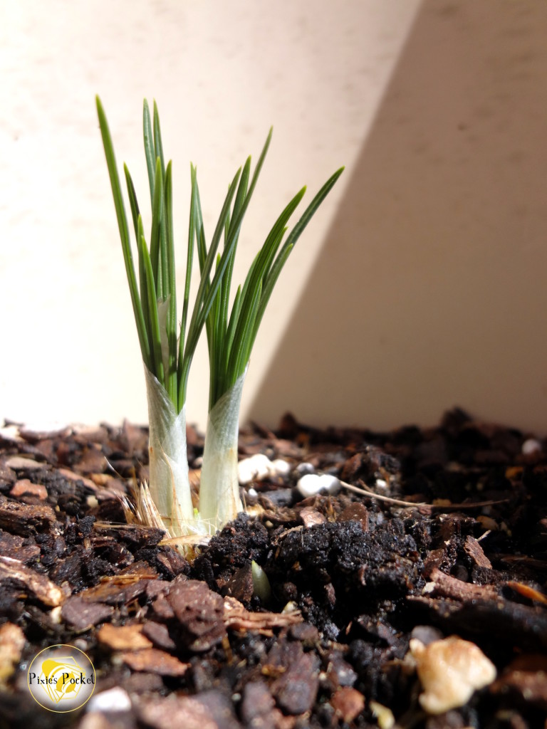 Saffron crocus bulb - How do I learn about herbs? A guide and list of resources from pixiespocket.com
