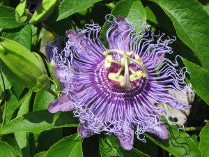 Passionflower (1600x1200)