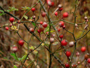 Wild Rosehips (1600x1200)