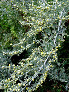 Flowering Wormwood (1200x1600)