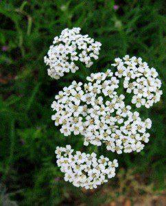 Flowering Yarrow (1147×1424)