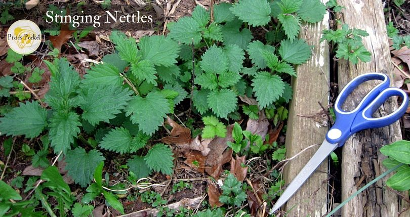 "Stinging Nettles - pixiespocket.com - Harvest the young tops of nettles for food in the spring. Proceed with caution or learn to love the burn! from ""Raised Beds and Making Do in the Garden"""