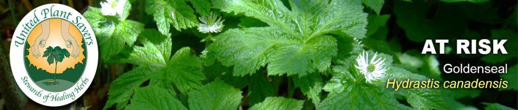 united plant savers_goldenseal-bloom