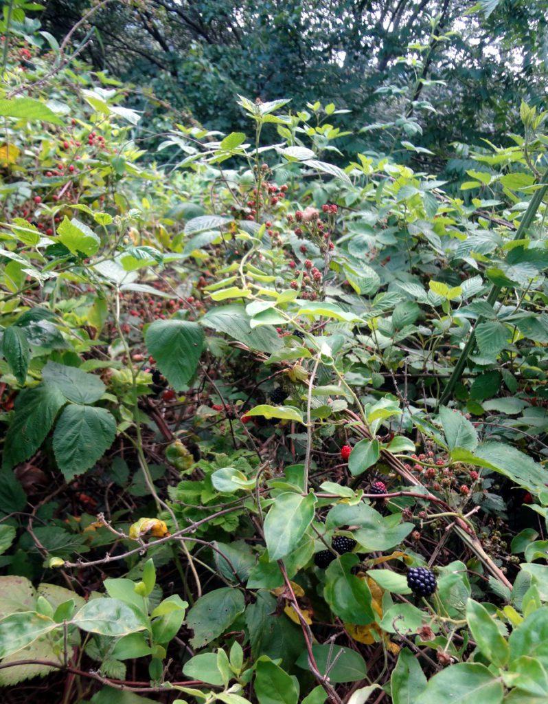 2016-06-26 blackberrybramble 1200
