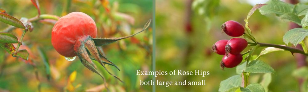 Foraging for Rose Hips - a guide and list of recipes on pixiespocket.com