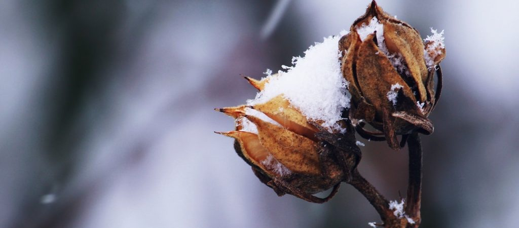 Roses in snow (1)