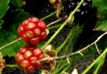 Blackberry Fizz on pixiespocket.com