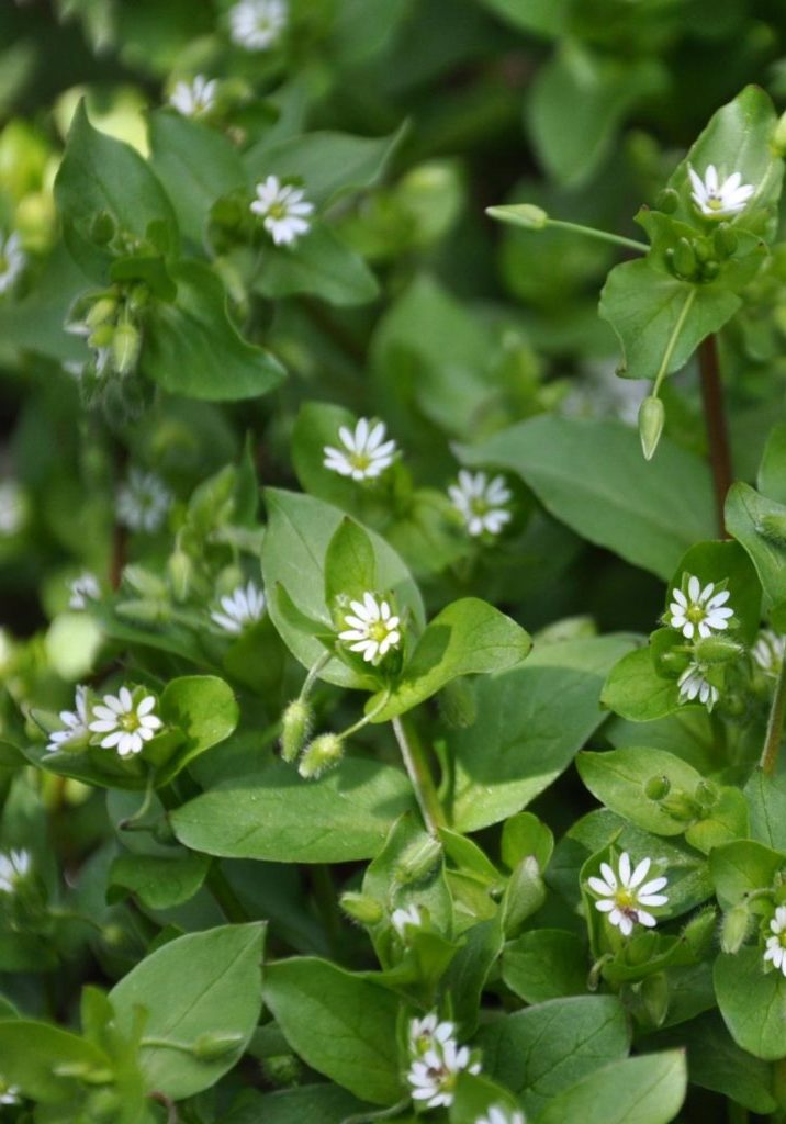 Stellaria_media_Common_Chickweed_ჟუნჟრუკი