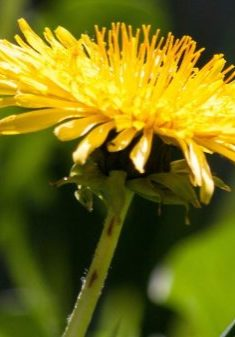 common-dandelion-dandelion-flower-bud-56896