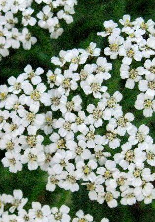 yarrowflowers small