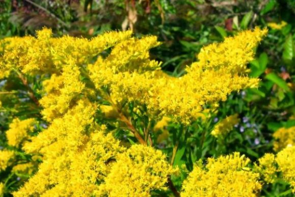Let's Talk About: Goldenrod Recipes and Remedies