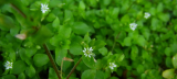 Chickweed as an Herbal Ally