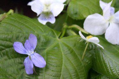 Linden Leaf Salad: Foraging, Identification, and Use