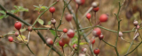 Foraging for Rose Hips in Winter