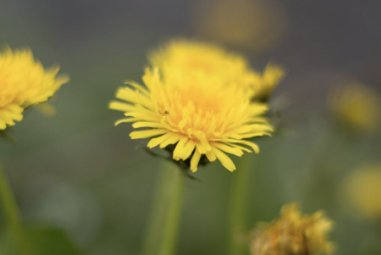 Dandelion and Violets: A Joyful Herbal Infusion