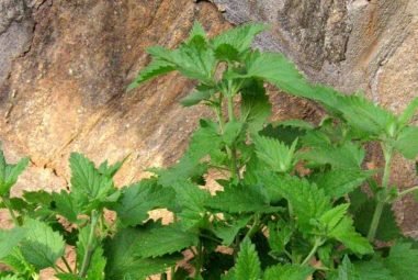 Let's Talk About: Catnip Herbal Remedies