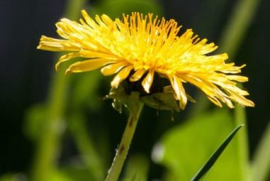Dandelion Flower Infusion and Syrup