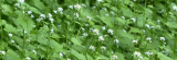 Garlic Mustard Pesto Recipe – guilt-free foraging