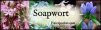 Soapwort