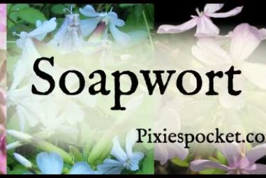 Soapwort Recipes: Green Cleaning from your Garden!