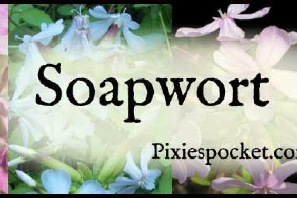 Let's Talk About: Soapwort