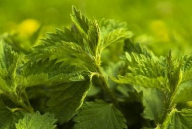 Nettles – a feast on the forest floor