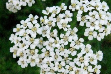 Yarrow for Fever and Flu